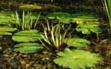 roślinnośc wodna w dolinie tyśmienicy, fot